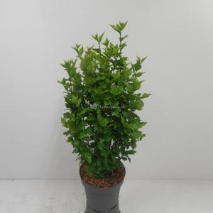Hibiscus syriacus Woodbridge - 40 - 60 cm - 8 stuks