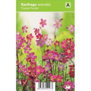 Mossteenbreek (saxifraga arendsii Carpet Purple) voorjaarsbloeier - 12 stuks