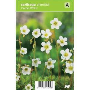 Mossteenbreek (saxifraga arendsii Carpet White) voorjaarsbloeier - 12 stuks