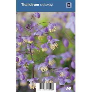 Ruit (thalictrum delavayi) schaduwplant - 12 stuks