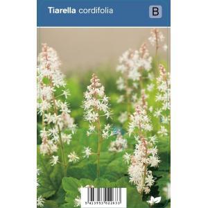 Schuimbloem (tiarella cordifolia) schaduwplant - 12 stuks