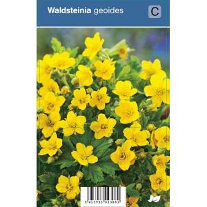 Gele aardbei (waldsteinia geoides) schaduwplant - 12 stuks