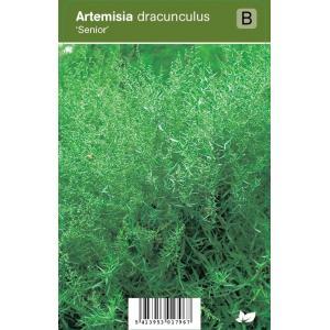 Franse dragon (artemisia dracunculus Senior) kruiden - 12 stuks