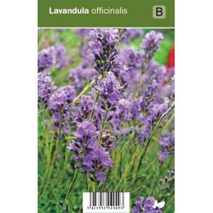 Lavendel (lavandula officinalis) kruiden - 12 stuks