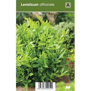 Lavas (levisticum officinale) kruiden - 12 stuks