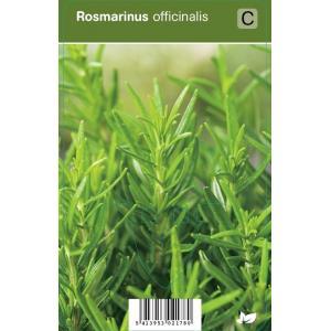 Rozemarijn (rosmarinus officinalis) kruiden - 12 stuks