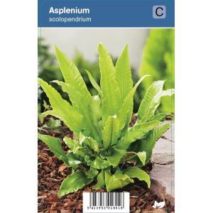 Tongvaren (Asplenium Scolopendrium) schaduwplant - 12 stuks