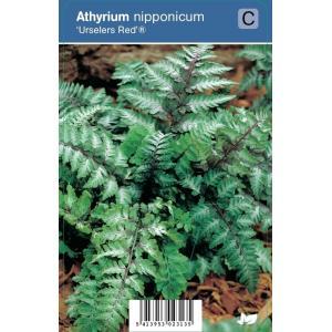 "Japanse regenboog (athyrium nipponicum ""Urselers Red®"") schaduwplant - 12 stuks"