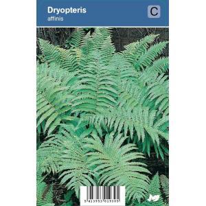 Schildvaren (dryopteris affinis) schaduwplant - 12 stuks