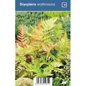 Herfstvaren (dryopteris erythrosora) schaduwplant - 12 stuks