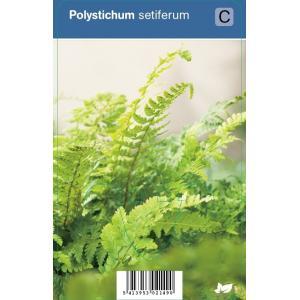 Naaldvaren (polystichum setiferum) schaduwplant - 12 stuks