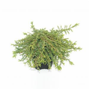Jeneverbes (Juniperus communis Green Carpet) conifeer