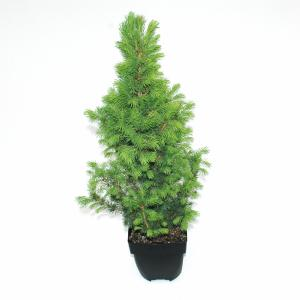 Spar (Picea glauca Conica) conifeer