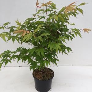 Japanse esdoorn (Acer palmatum Osakasuki) heester - 40-50 cm - 1 stuks