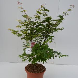 Japanse esdoorn (Acer palmatum Osakasuki) heester - 80-100 cm - 1 stuks