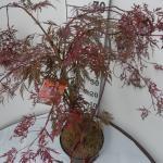 """Japanse esdoorn (Acer palmatum """"Crimson Queen"""") heester"""