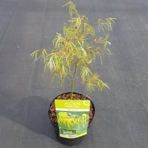 Japanse esdoorn (Acer palmatum Koto-no-ito) heester