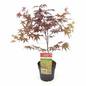 Japanse esdoorn (Acer palmatum Bloodgood) heester - 50-60 cm - 1 stuks