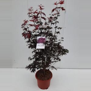 Japanse esdoorn (Acer palmatum Bloodgood) heester - 100+ cm - 1 stuks