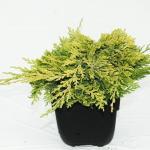 "Kruipende jeneverbes (Juniperus horizontalis ""Golden Carpet"") conifeer"