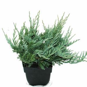 Kruipende jeneverbes (Juniperus horizontalis Blue Chip) conifeer