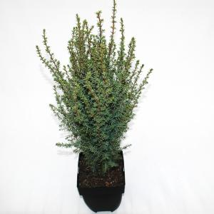 Jeneverbes (Juniperus communis Arnold) conifeer